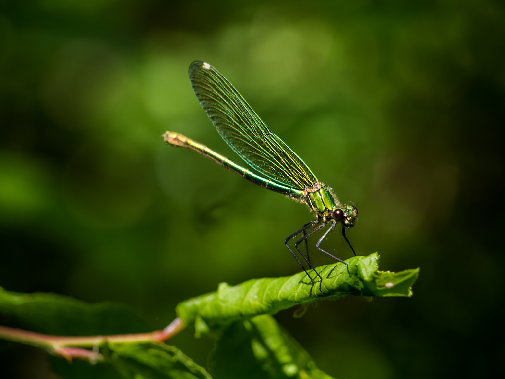 Calopteryx splendens (female)