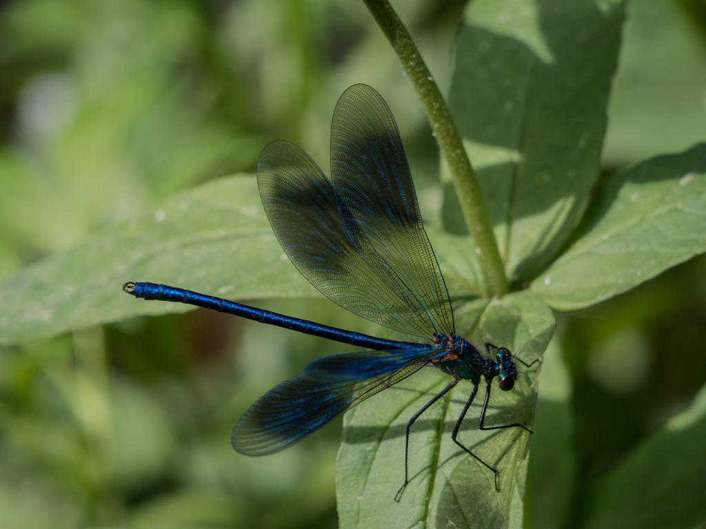 Calopteryx splendens (male)